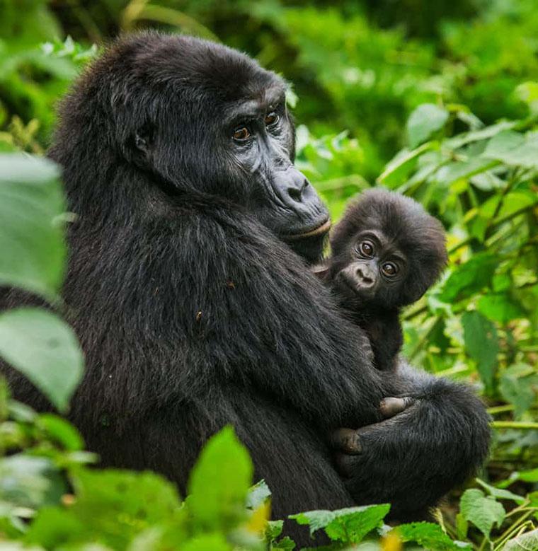 Africa budget gorilla trekking