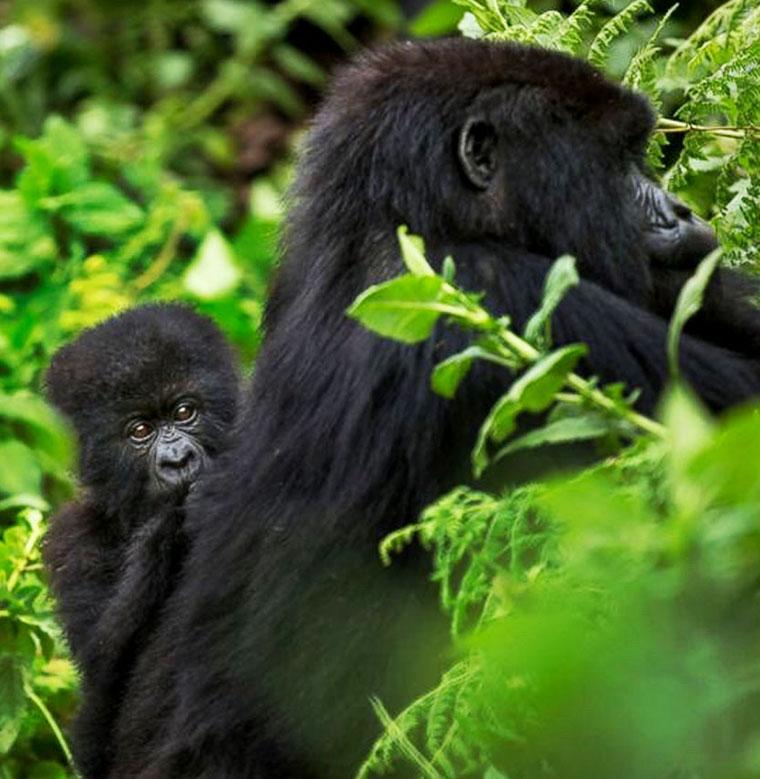 Budget gorilla trekking Africa
