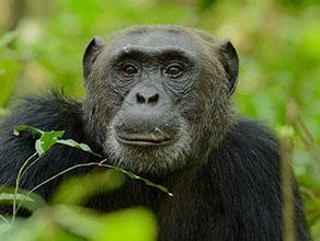 Budget Chimpanzee Trekking Uganda