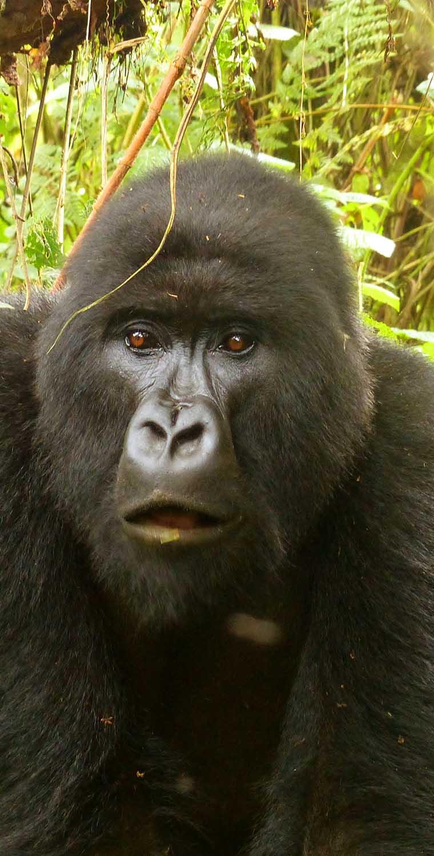 Compare Gorilla trekking in Uganda, Rwanda and Congo