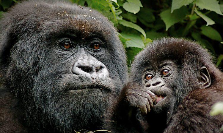 1 Day Gorilla Trek in PNV