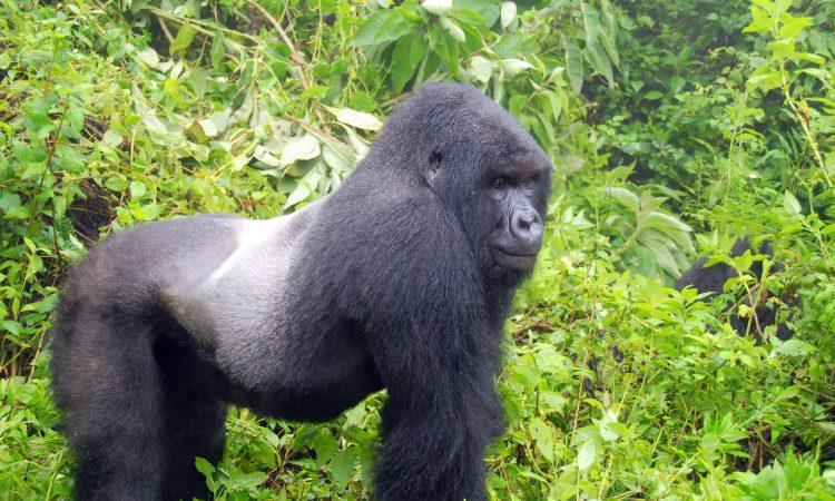 3 Days Gorilla Tour in Rwanda