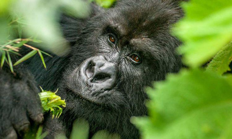 4 Days Uganda Gorilla & Chimpanzee Safari