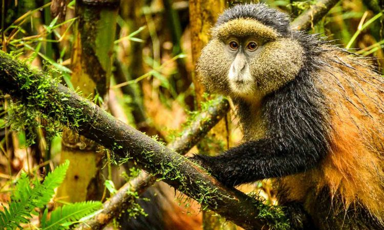 4 Days Uganda Gorillas & Golden Monkeys Safari