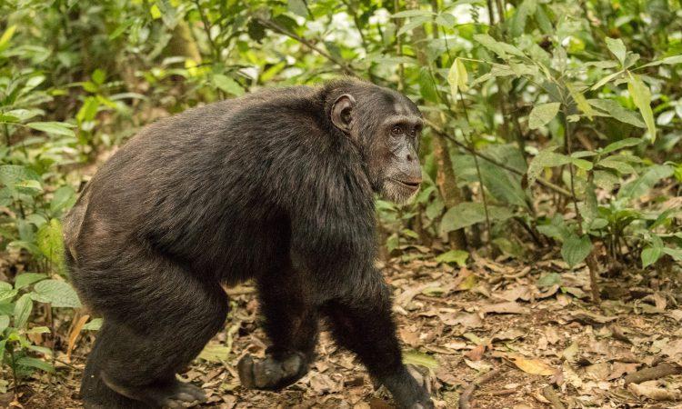 5 Days Uganda Wildlife & Chimpanzee Safari