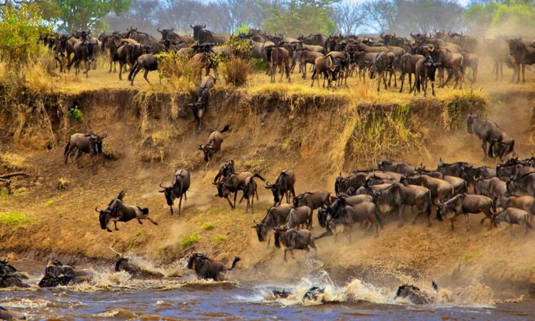 The Great Annual Wildebeest Migration